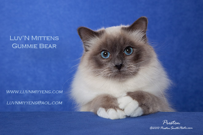 Kittens is sep birman cat lilac point birman kittens we areyou cute